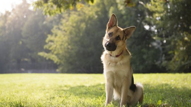 dog bylaw german shepherd Medium2